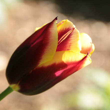 tulip, Canon EOS 70D, Canon EF-S 18-135mm f/3.5-5.6 IS