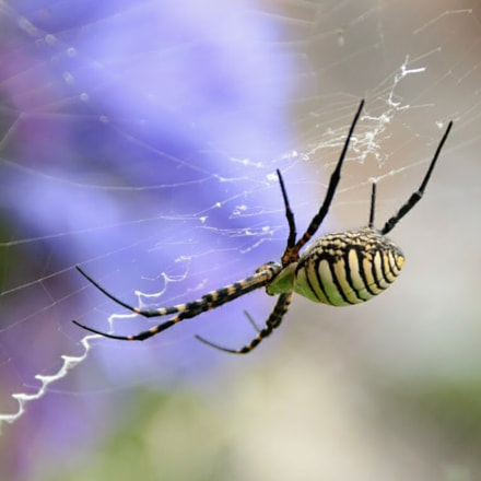 spider, Canon EOS 70D, Canon EF-S 18-135mm f/3.5-5.6 IS