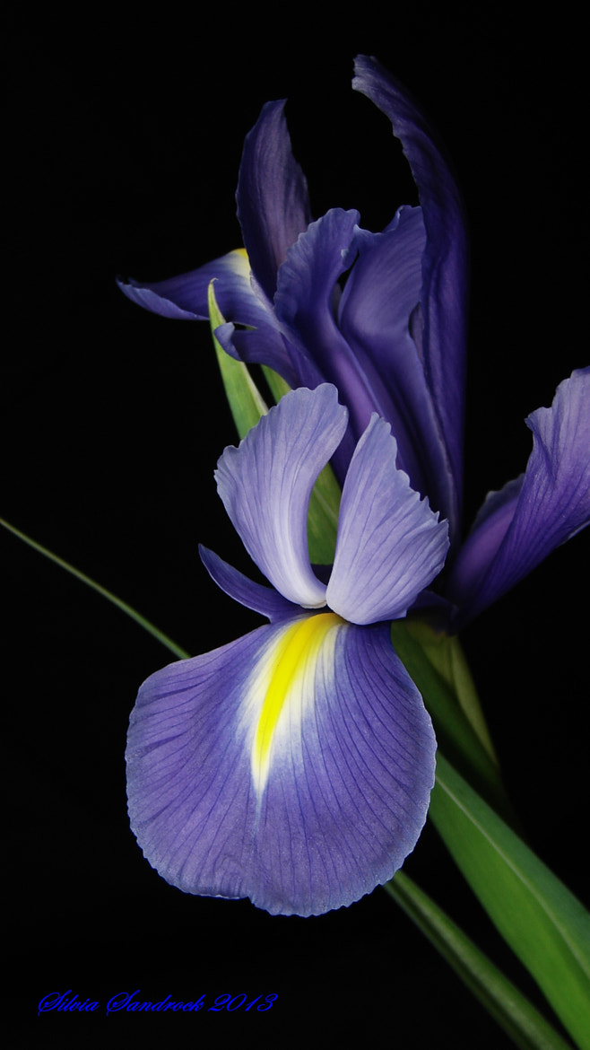 Photograph The Iris...... by Silvia Sandrock on 500px