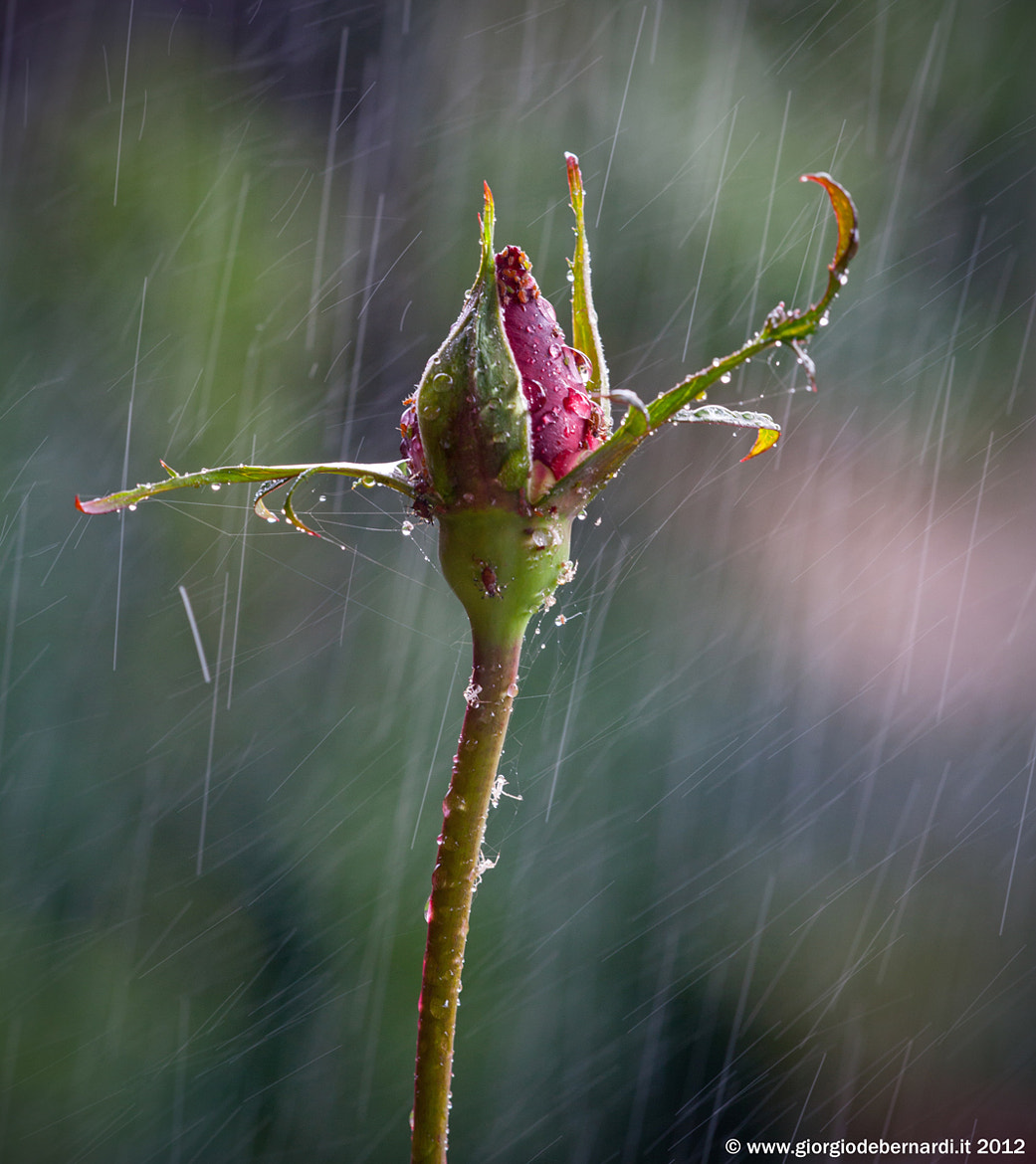 Photograph Rose in the rain by giorgio debernardi on 500px