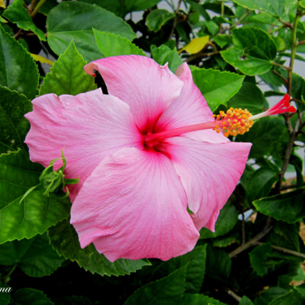 Pink Hibiscus, Canon POWERSHOT A3300 IS