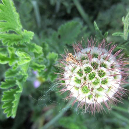 pincushion seed, Canon POWERSHOT ELPH 300HS