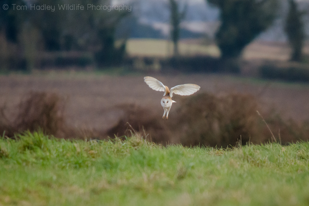 Photograph Barn Owl landing by Tom Hadley on 500px