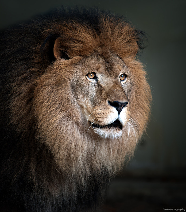 Photograph Lion King by Martien van Hout on 500px