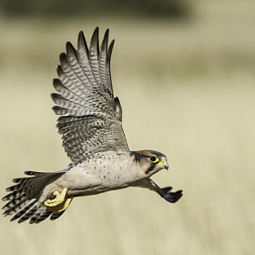 """Stirred to Action - First Entry in """"Leaving a Legacy"""" - Lanner Falcon by Christo Kruger from 500px"""