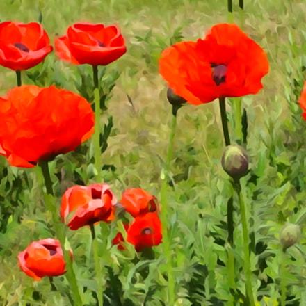 Poppies, Sony DSC-WX50