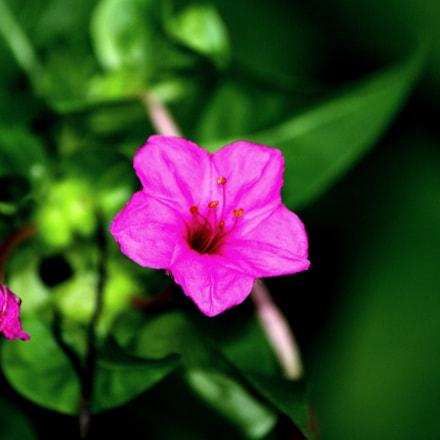 flower, Canon EOS 50D