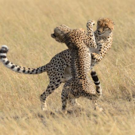 Dancing Cheetahs, Nikon D4, AF-S VR Nikkor 500mm f/4G ED