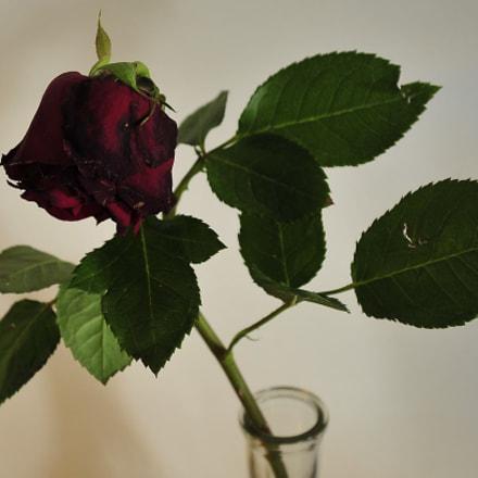 Rose study, Nikon D3S, AF-S DX VR Zoom-Nikkor 18-55mm f/3.5-5.6G