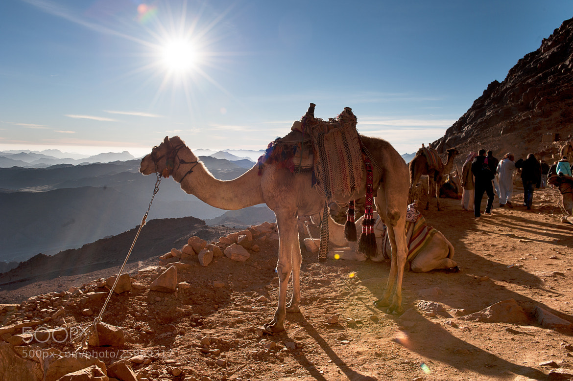 Photograph Sinai Camel by Sergey Babiv on 500px