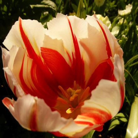 Giverny striped tulip, Panasonic DMC-TZ36