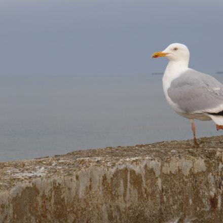 Port-en-Bessin gull, Panasonic DMC-TZ36