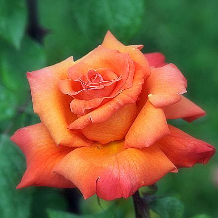 rose.., Nikon D700, Sigma APO Macro 150mm F2.8 EX DG HSM