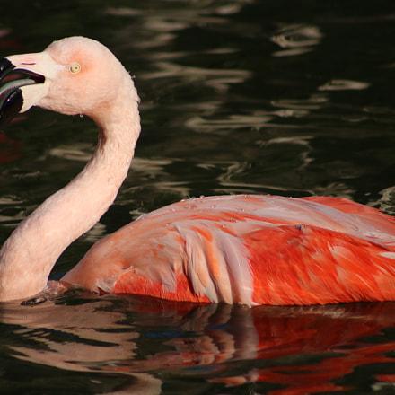 Flamingo 4066, Canon EOS REBEL T6I, Canon EF 75-300mm f/4-5.6 USM