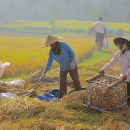 Bali rice harvest, Canon IXUS 115 HS