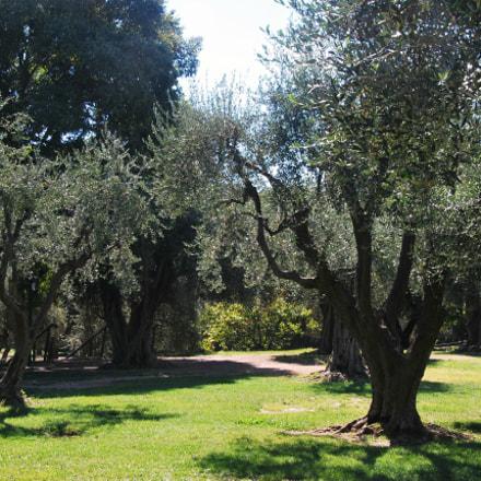 Ницца. Оливковые деревья, Nikon D60, AF-S DX VR Zoom-Nikkor 18-105mm f/3.5-5.6G ED