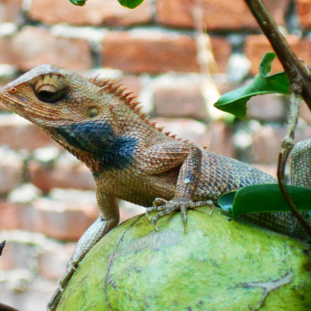 Lizard, Nikon COOLPIX L30