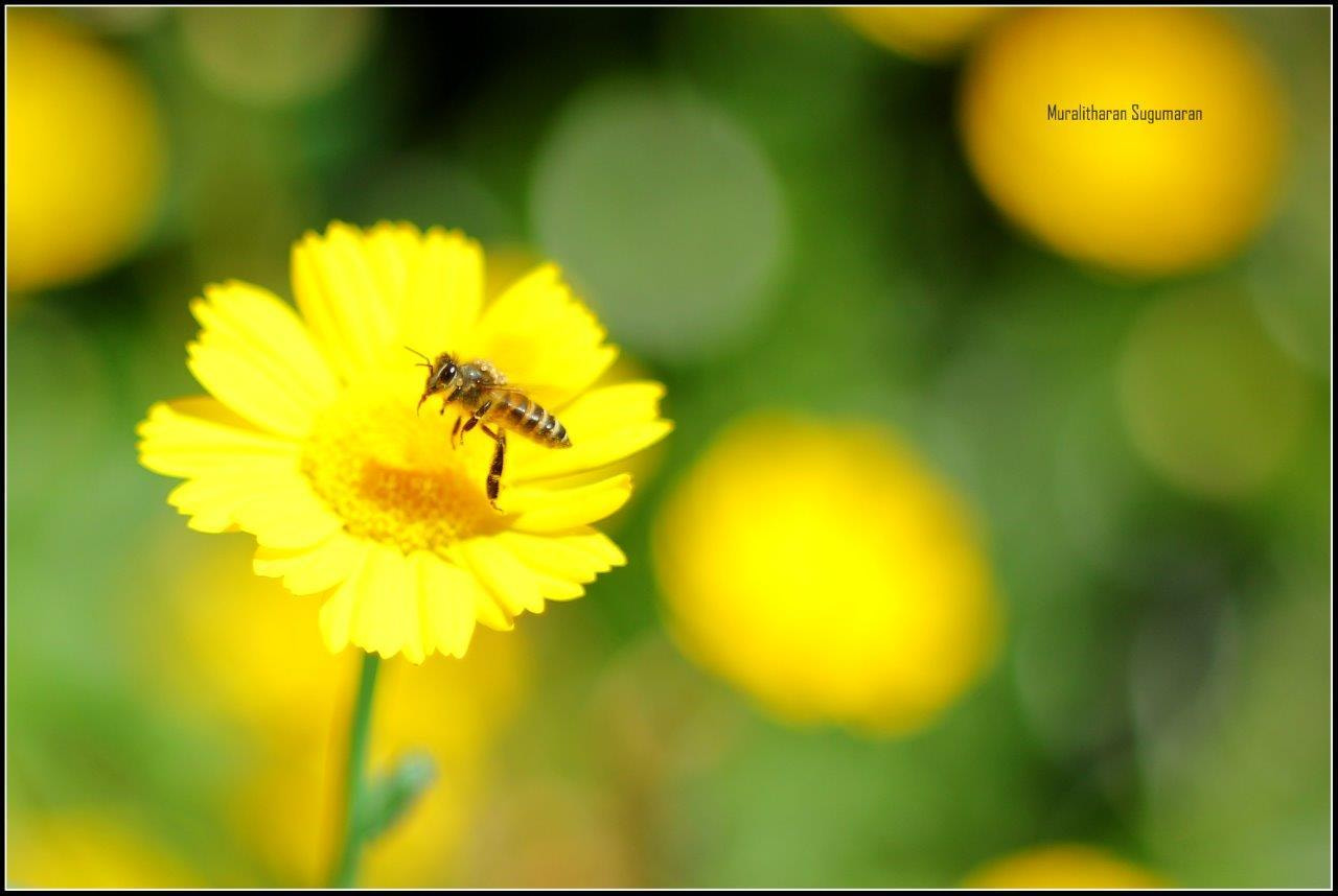 Photograph Hard worker - Honey bee by Muralitharan Sugumaran on 500px