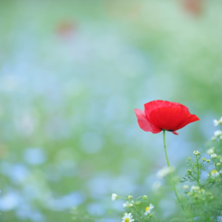 the red poppy, Canon EOS 5D MARK IV, Canon EF 135mm f/2L