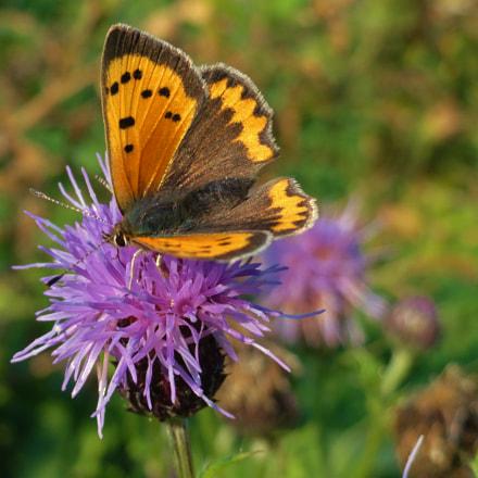 Every butterfly is a, Sony DSC-H55