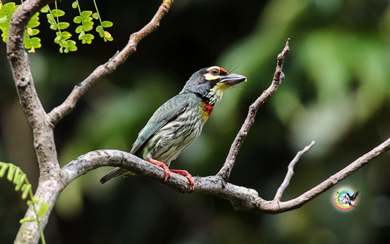 Photograph Coppersmith Barbet by Andy Fu on 500px