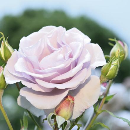 Light purple rose, Nikon D800E, AF-S Nikkor 24-70mm f/2.8E ED VR
