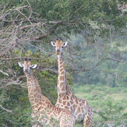Giraffe, Canon POWERSHOT S1 IS