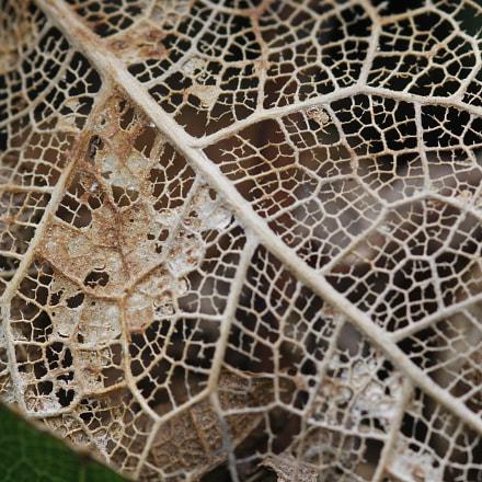 Esqueleto da folha, Canon EOS 60D