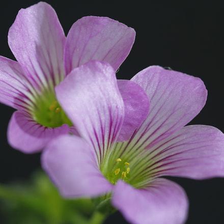 Flor da grama, Canon EOS 60D