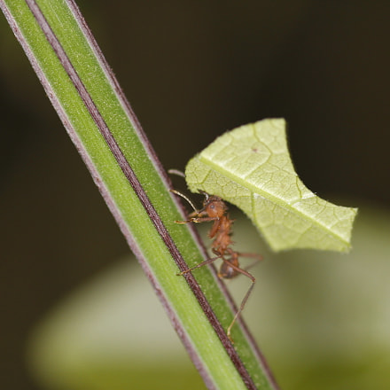 Worker Ant, Canon EOS 60D, Sigma 105mm f/2.8 Macro EX