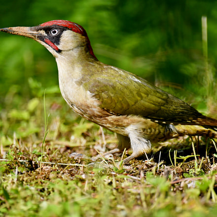 Green Woodpecker, Nikon D500, AF-S VR Nikkor 600mm f/4G ED