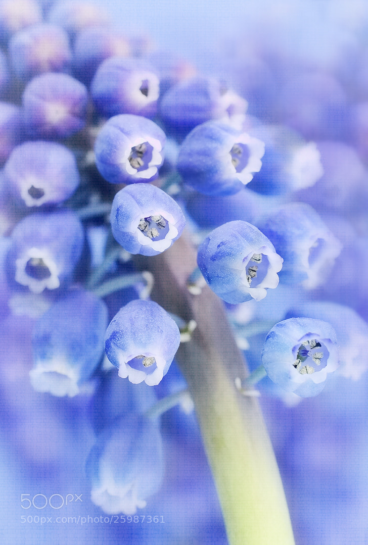Photograph Grape Hyacinth by Sharon Smith on 500px