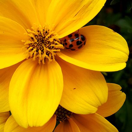 Ladybug.., Samsung Galaxy A8