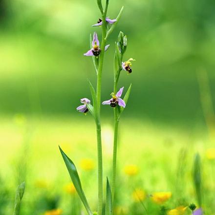 Ophrys abeille, RICOH PENTAX K-3, smc PENTAX-DA* 300mm F4 ED [IF] SDM