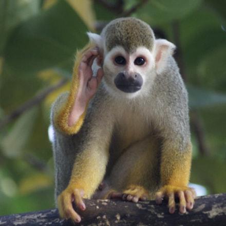 Monkey, Sony SLT-A33, Sony DT 55-200mm F4-5.6 SAM (SAL55200-2)