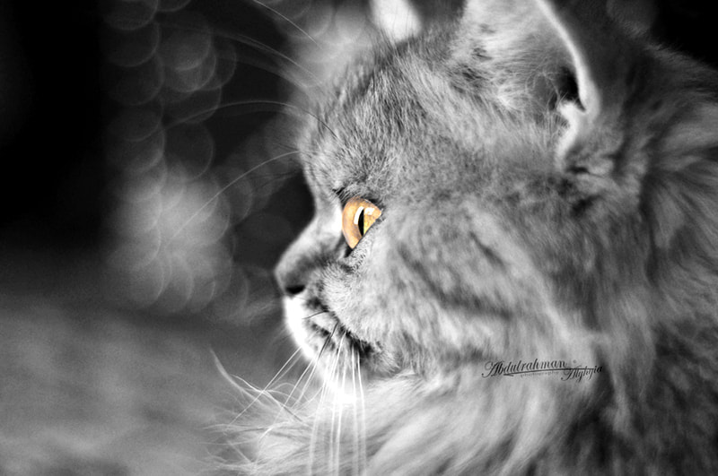 Photograph Cat by abdulrahman alyhyia on 500px