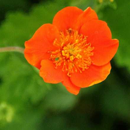 The orange color flower..., Canon EOS 700D, Sigma 18-200mm f/3.5-6.3 DC OS