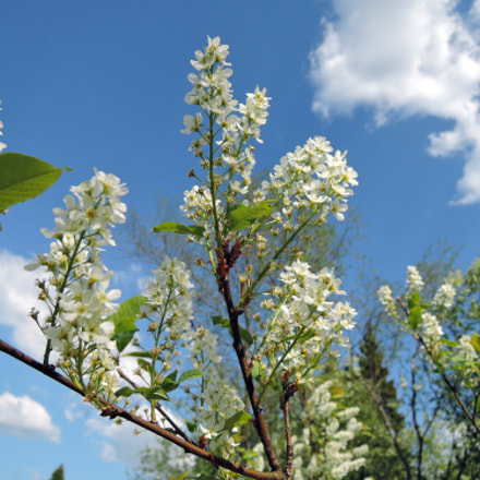 Bird Cherry, Nikon COOLPIX P340