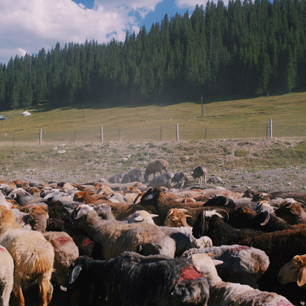 A flock of sheep, RICOH PENTAX K-70