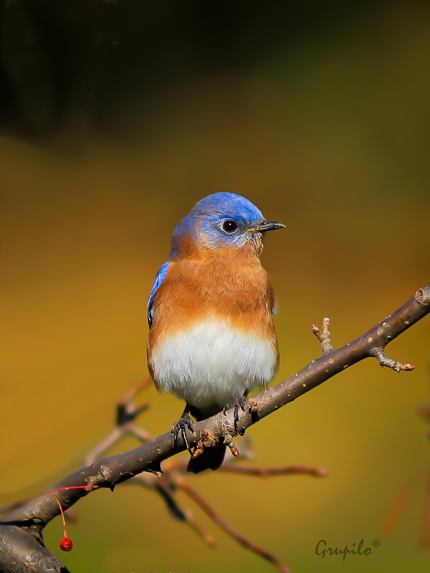 Photograph Eastern Bluebird (Sialia  sialis ) by Carlos Grupilo on 500px