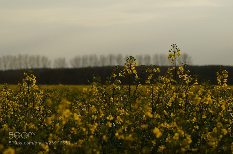 Photograph canola field by Martin Bimböse on 500px