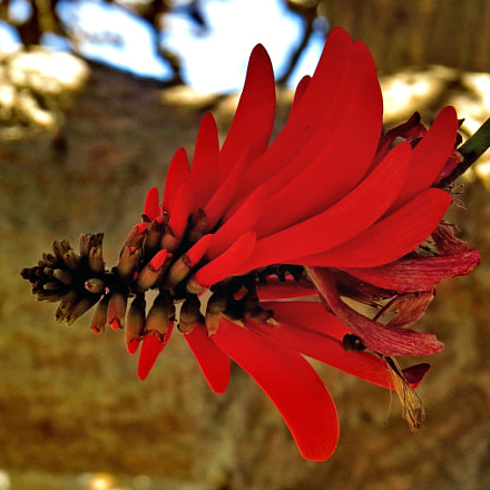 A Red Pinecomb Flower, Canon POWERSHOT SX50 HS, 4.3 - 215.0 mm