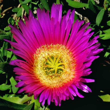 A Purple Dandelion Flower, Canon POWERSHOT SX50 HS, 4.3 - 215.0 mm