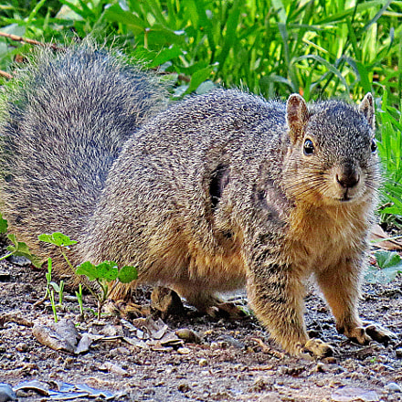 A Squirrel Looking At, Canon POWERSHOT SX50 HS, 4.3 - 215.0 mm