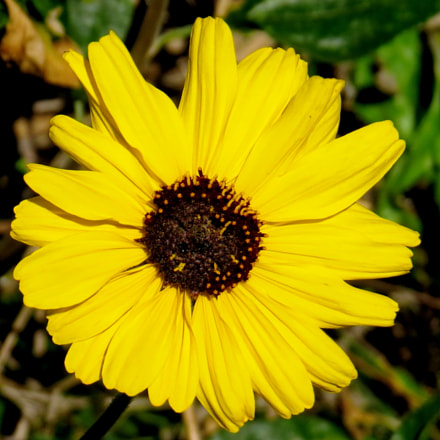 Gold Daisy Flower, Canon POWERSHOT SX50 HS, 4.3 - 215.0 mm