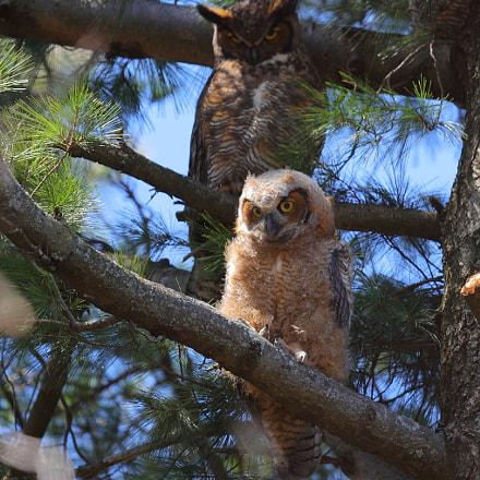 owl, Canon EOS-1D X MARK II