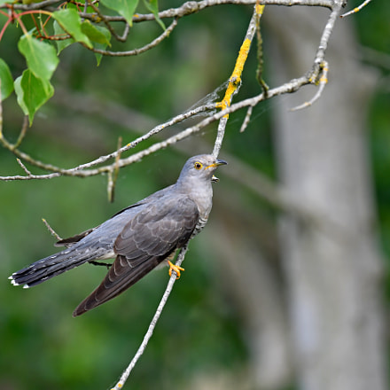 Common Cuckoo, Nikon D500, AF-S VR Nikkor 600mm f/4G ED