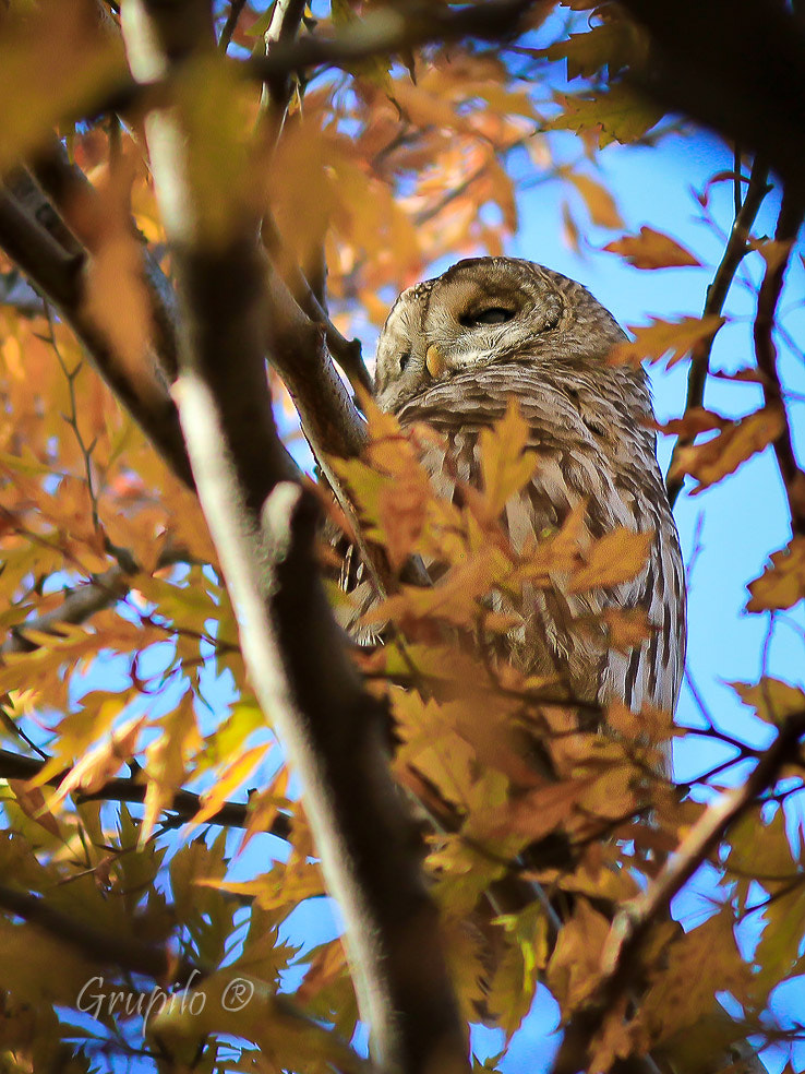 Photograph Barred Owl (Strix varia) by Carlos Grupilo on 500px