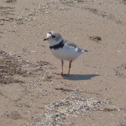 PIPING PLOVER - Please, Panasonic DMC-FZ60