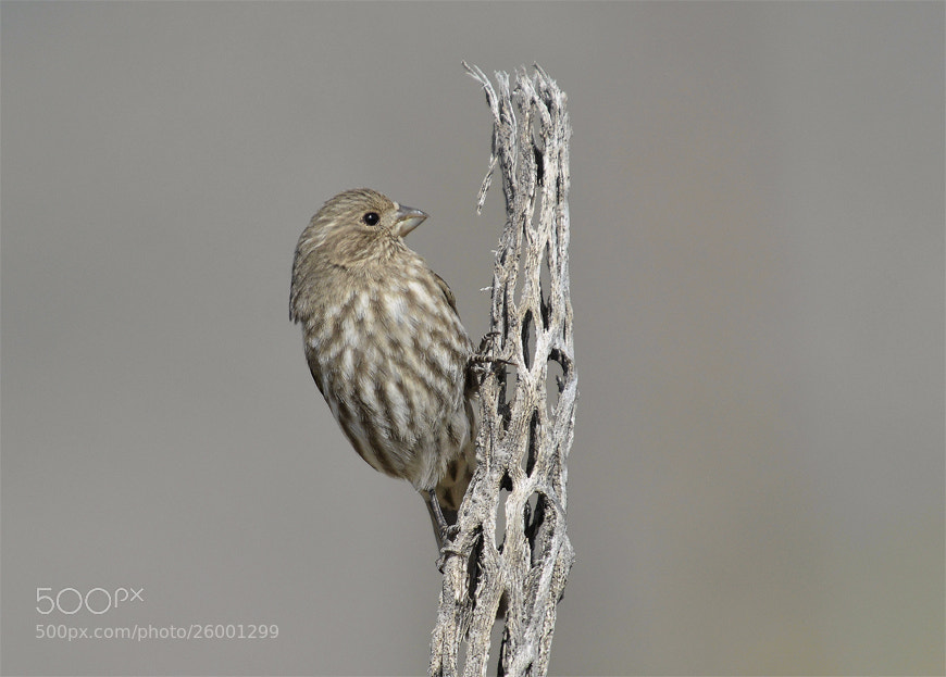 Photograph House Finch Female. by Luis Jaime Leal on 500px